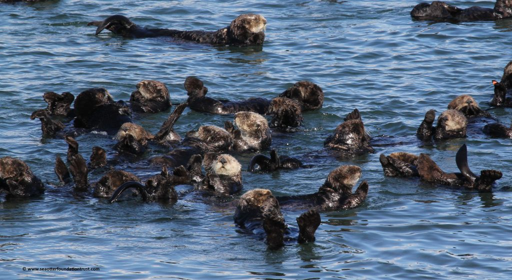 Sea otter raft in Elkhorn Slough