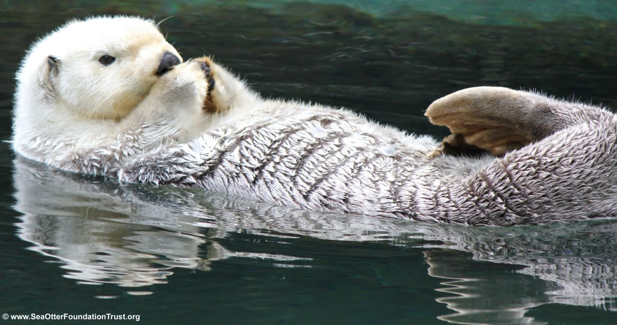 Sea Otter Foundation & Trust