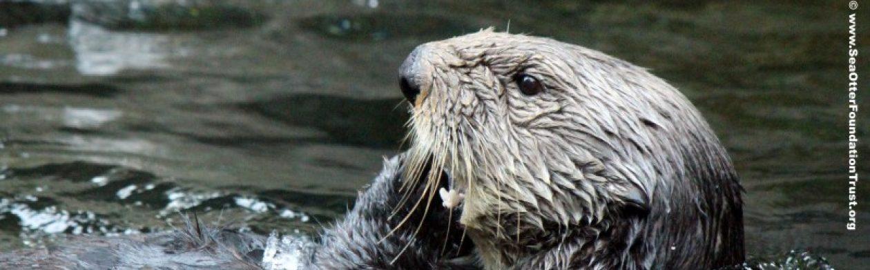 Sea Otter Foundation & Trust