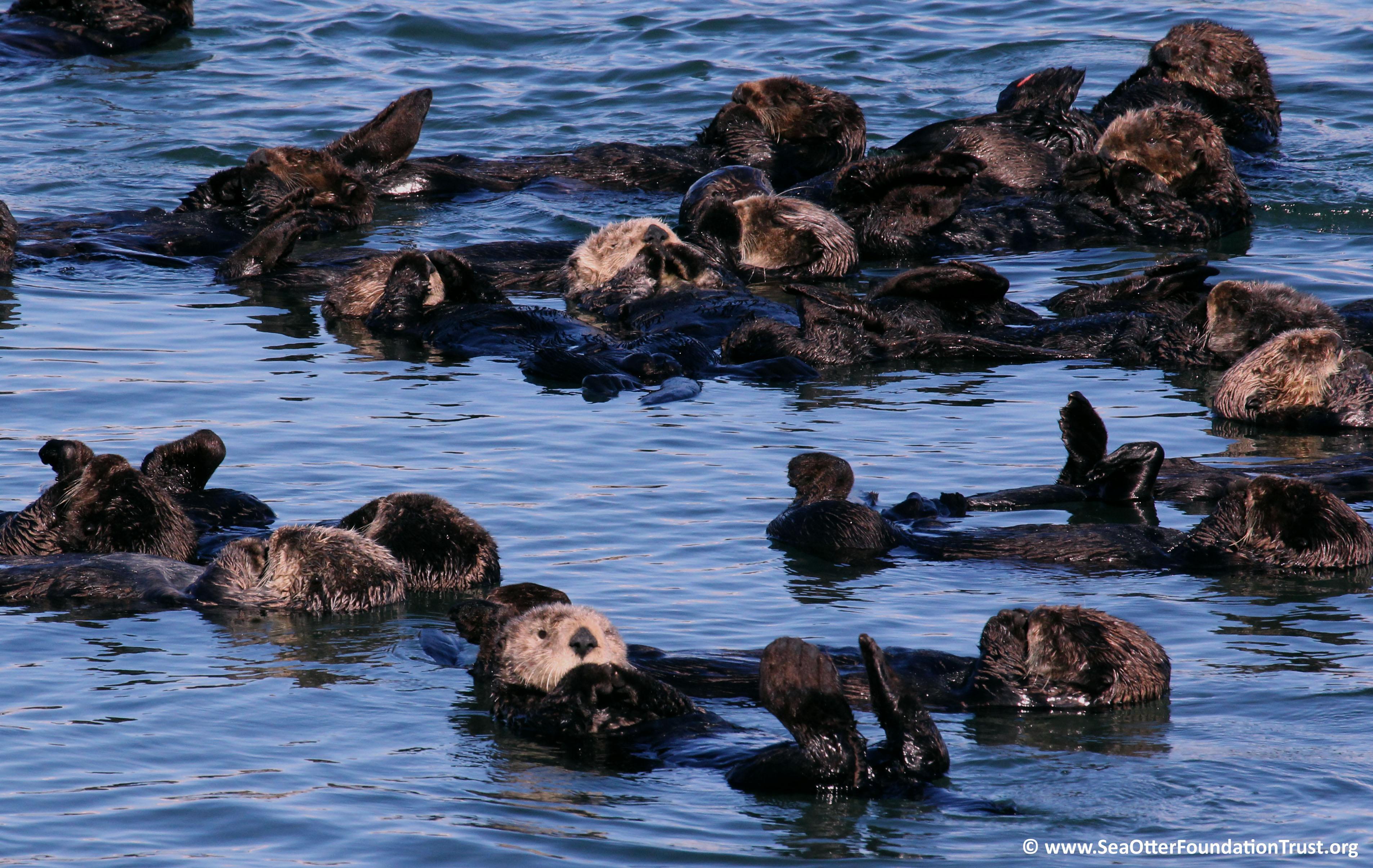 Sea Otter Facts Sea Otter Foundation Amp Trust