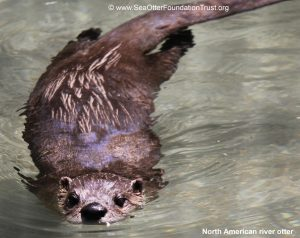 North American river otter - differences post
